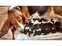 PURE BRED BASSET HOUND PUPPIES , TRICOLOUR.