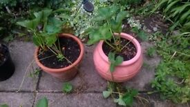 Large pots Strawberrys with runners