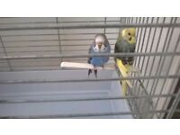 2 LOVELY BABY BUDGIES WITH LARGE CAGE