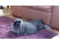 Giant French lop babys
