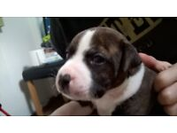 staffordshire bull terrier staffie pups £150.00