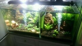 Crystal red shrimps for sale ( no RO water)+ extra >>>Christmas moss