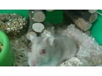 Female dwarf hamster