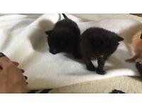 2 BLACK KITTENS 1 girl 1 boy !!!!! Pedigree mum
