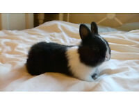 black with white markings netherland dwarf buck