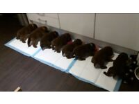 Chocolate Brown Labrador Puppies for sale