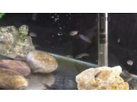 Pseudotropheus elongatus - African Cichlids - 1 Inch Baby fish