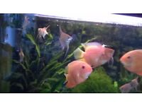 Tropical Fish (Severum, Jade eye's, Fire mouth, Sword-tails, Sail fin molly)