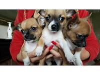 Chihuahua pups ready now