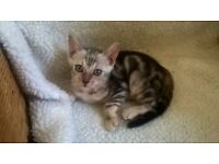 SIlver Marble female kittens for sale
