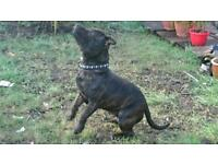 Staffordshire Bull Terrier male 9 months old pedigree puppy