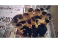 11 Muscovy Ducklings