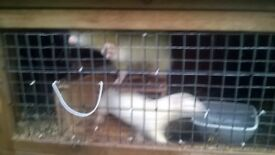 two working ferrits and cage for sale