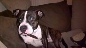 Male Staffie for sale