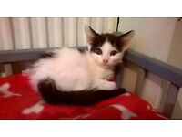 white and black kitten for sale