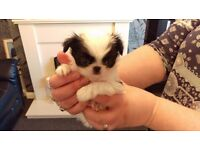 Japanese chin boy puppy for sale