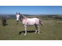 Stunning Arab Mare 13yrs / 14.1 by Tantavitch out of Silver Dakoura