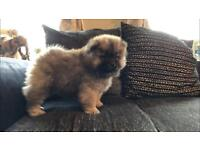 CHOW CHOW stunning boy health tested READY NOW