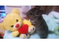 Baby Girl Chinchilla, Standard Gray, Female 11 weeks old for Sale now