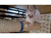 Blue eyed boy ragdoll kitten