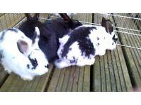 lops cross rabbits