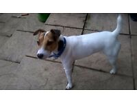 free to good home 2yr old parson jack russell