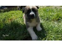 2 Akita Puppies Left For Sale