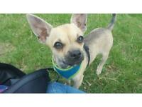 1 Year old Male Chiuhuahua - Good Home Only
