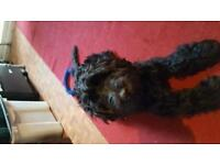 5and A HALF MONTHS OLD MALE BLACK COCKERPOO FOR URGENT SALE