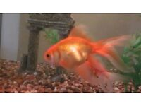 Three Fantail Goldfish for sale