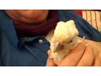 Hand Reared Baby Ducorps Cockatoo / Corella