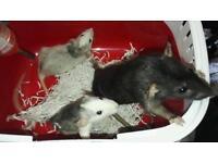 2 10 weeks old blue husky roan dumbo baby rats last of litter