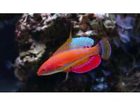 Flasher wrasse marine fish