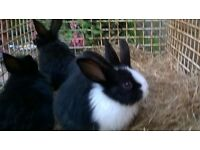 Lovely baby rabbits for sale