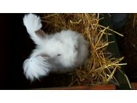 Two angora rabbits plus hutch