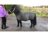 Lead rein/companion pony for sale
