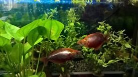 ghost knife fish 2 red rainbow fish 2 gold gouramis fork tail rainbow fish