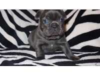 Quality solid blue/brindle french bulldog girls!!! KC puppies