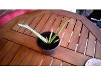 30 Young Houseplants 50p each.Money Plants,Aloe Vera Plants,Spider Plants