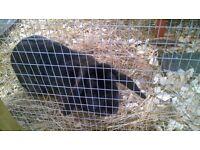 For sale very friendly black buck lop