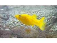 Tropical fish ( yellow gold Molly)