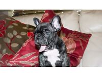Reduced!!! French Bulldog Puppies For Sale!!!