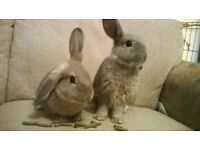 2 Baby Male Rabbits - Rex Mix - £15 each