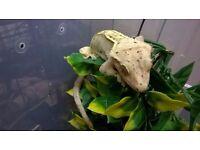 Dalmatian gecko m/f for sale