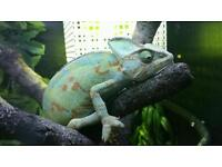 1 female 1 male veiled chameleon comes with full set up