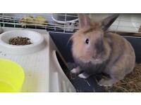Lions head rabbit for sale