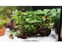 Planted bogwood fishtank plants