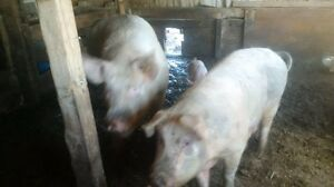 Boar and sal for sale