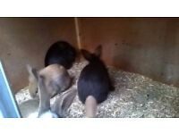 continental x lop baby's