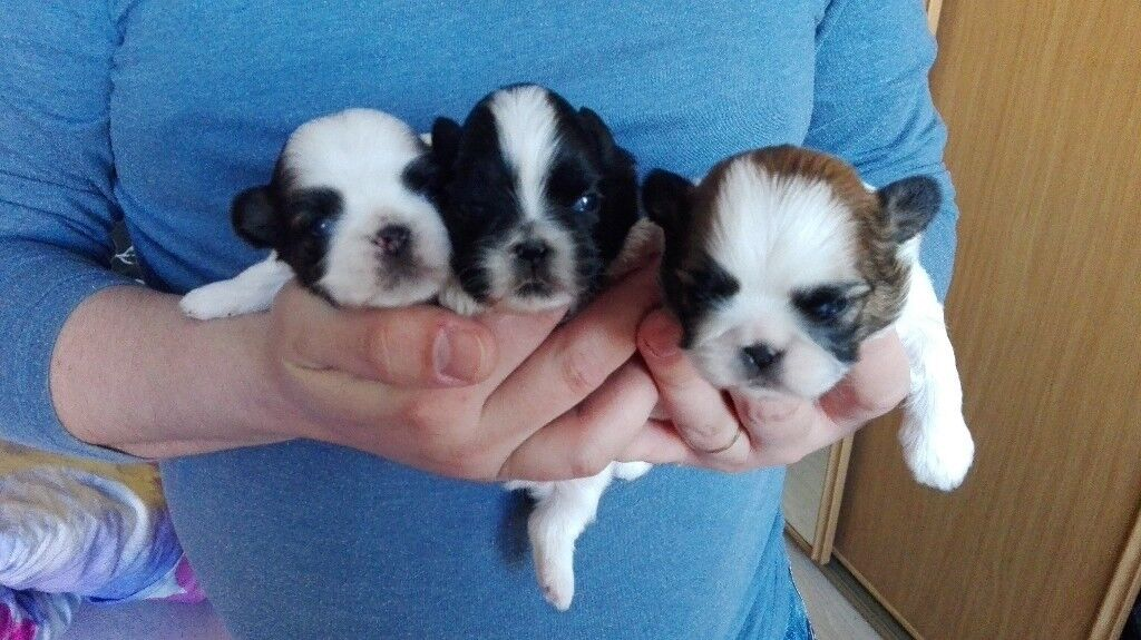 Miniature Shih Tzu Puppies For Sale In Armadale West Lothian
